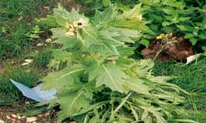 Бленът като домашно растение