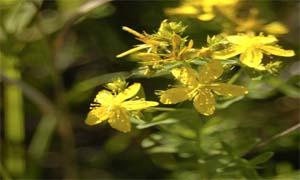 Красивите цветове на жълтия кантарион