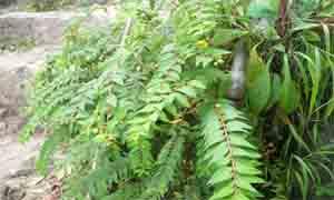 Листа от жълт кантарион