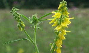 Жълтите цветове на комунигата (Melilotus officinalis)