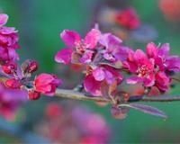 Цвят от ранна ябълка - япосни сорт кичест