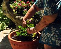 Грижа (плевене) за саксийни цветя