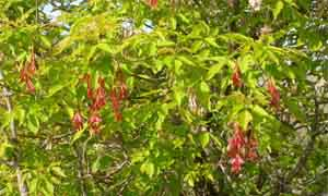 Червени крилатки на Acer Negundo – Ясенолистен явор