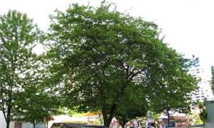 Дървото ацер негундо - клен (Acer negundo)