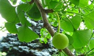 Плод с неприятна миризма на гинко билоба - Двуделен гинко