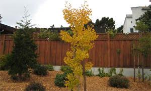 Гинко билоба през есента - есенно обагряне на двуделен гинко